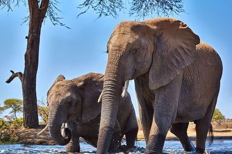 Saving Africa's Elephants—in the United States - TakePart   My Funny Africa.. is this the lions last roar?   Scoop.it