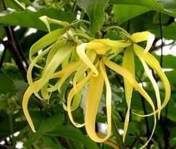 L'Huile essentielle Ylang ylang : La plus torride et sensuelle des huiles ! | Huiles essentielles HE | Scoop.it