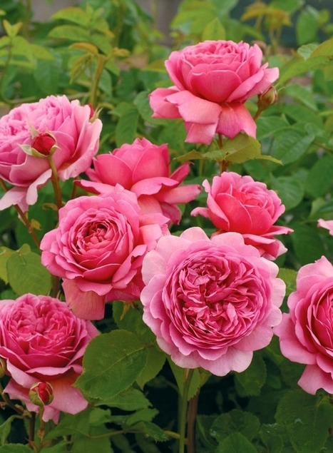 Ten Most Fragrant English Roses to beautify your gardens this year! | Hydroponics World | Scoop.it