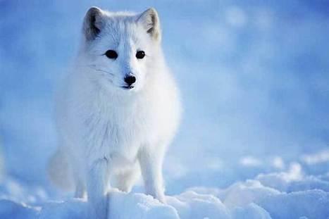 Estos 7 animales podrían desaparecer tan rápido como un hielo al sol | Periodismo Científico | Scoop.it