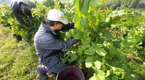 Le vignoble de Cognac très endommagé par la grêle | Le vin quotidien | Scoop.it