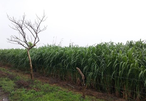 Energy crops could cover energy demand in surplus agricultural lands | bioenergy crops | Scoop.it