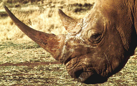 """""""R is for Rhinos"""" ... and also for Ridiculous Remedies 