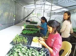 Grafted Ampalaya Is More Productive | The Manila Bulletin Newspaper Online | DuPont ASEAN | Scoop.it