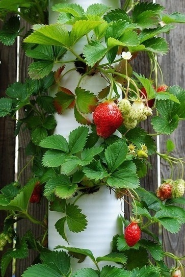 PVC Strawberry Planter | Le jardin créatif | Scoop.it