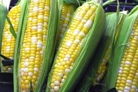 Mexico/Tamaulipas: Se Preparan Productores Para Siembra De Maiz Transgenico | Maíz | Scoop.it