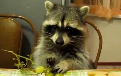 More Mammal Mondays: A Raccoon Eats Grapes While Sitting at a Kitchen Table - RYOT | Raccoons | Scoop.it
