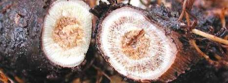 Trunk Disease Threat to Cognac | Wine News & Features | In The Vineyard | Scoop.it