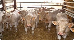 Cap sur les filières bovine et laitière - Economie - El Watan | Agriculture et Alimentation méditerranéenne durable | Scoop.it