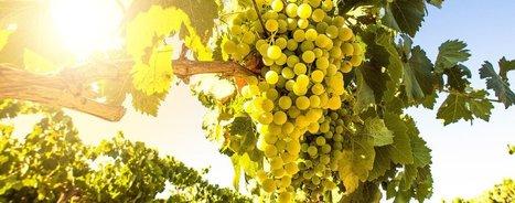 La microvigne, une vigne modèle pour la recherche | Le Vin et + encore | Scoop.it