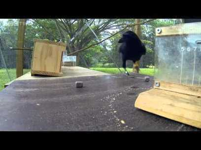 Documentary : Amazing crow solves 8 steps puzzle   GarryRogers NatCon News   Scoop.it