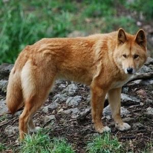Dingo origin predates Neolithic expansion   COSMOS magazine   World Neolithic   Scoop.it
