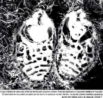 Les fourmis et les plantes, un exemple de coévolution | EntomoScience | Scoop.it