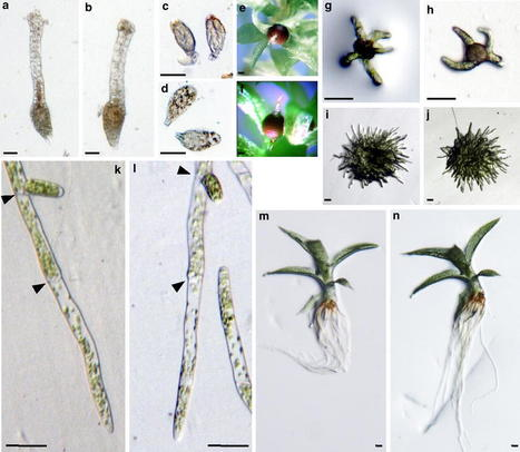 ARABIDILLO gene homologues in basal land plants: species-specific gene duplication and likely functional redundancy - Springer | plant cell genetics | Scoop.it