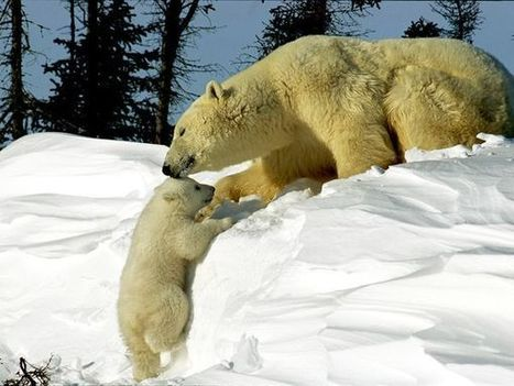 Polar Bears, Polar Bear Pictures, Polar Bear Facts - National Geographic | Polar Bear | Scoop.it