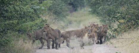Proof Lights Keep Wild Lions Away From Cattle | Farming, Forests, Water, Fishing and Environment | Scoop.it