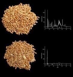 Desarrollan variedades de trigo con muy baja toxicidad para los enfermos celíacos | IAS CSIC | Gluten free! | Scoop.it