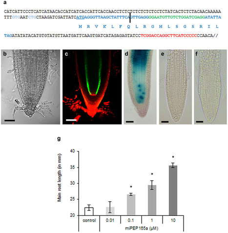 Primary transcripts of microRNAs encode regulatory peptides : Nature : Nature Publishing Group | Plant-Microbe Interactions that Andy Cares About | Scoop.it