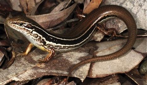 Descubren un nuevo tipo de lagartija en Australia a punto de extinguirse por la expansión urbana | Agua | Scoop.it
