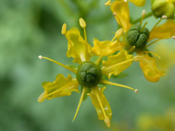 What is Ruta Graveolens Plant? (Rue Herb) | FeelGoodTime.net - Your Daily Medicine | Scoop.it