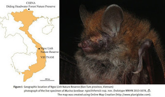 Species New to Science: [Mammalogy • 2015] Murina lorelieae ngoclinhensis • First Records of Murina lorelieae (Chiroptera: Vespertilionidae) from Vietnam | Bat Biology and Ecology | Scoop.it