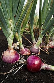 Illinois Vegetable Garden Guide: Growing Onions | Vegetable Gardening Resources | Scoop.it