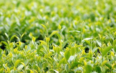 Danh trà ở thái nguyên | Do choi tre em | Scoop.it