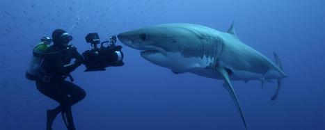 Filming the amazing great white shark hunt   Zoologie et Ethologie   Scoop.it
