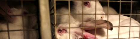 VIDÉO - Dans l'enfer d'un élevage de lapin / Le Figaro   Lapins - Revue de presse L214   Scoop.it