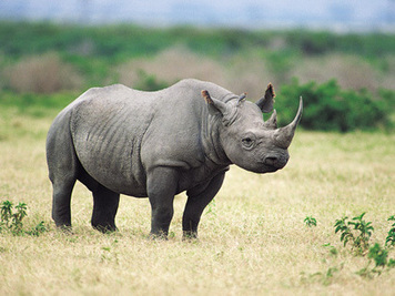 NPR: To Save The Black Rhino, Hunting Club Bids On Killing One | What's Happening to Africa's Rhino? | Scoop.it
