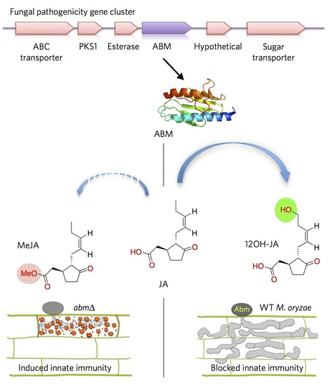 Nature Chemical Biology: A fungal monooxygenase-derived jasmonate attenuates host innate immunity (2015) | Plants and Microbes | Scoop.it