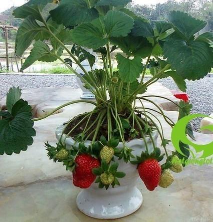 Bán hạt giống dâu tây tại Hà Nội | Noithatmax.com | Scoop.it
