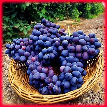 More Great News for Grape Lovers: Grape Seed Extract Is Excellent for Your Health Too   Holistic & Alternative Health   Scoop.it