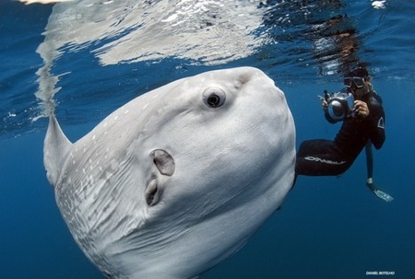 What's a Mola? Behind the Strange Fish Picture Surging on Facebook | #scuba #ocean | Scuba world | Scoop.it