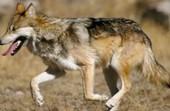 Wolf Weekly Wrap-Up | GarryRogers Biosphere News | Scoop.it