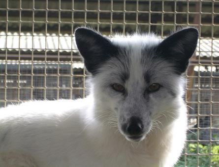Fox Domestication | Zoology | Scoop.it