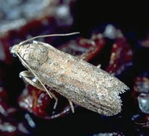 Raisin moth on the rise in California raisin vineyards | Southern California Wine and Craft Spirits Journal | Scoop.it