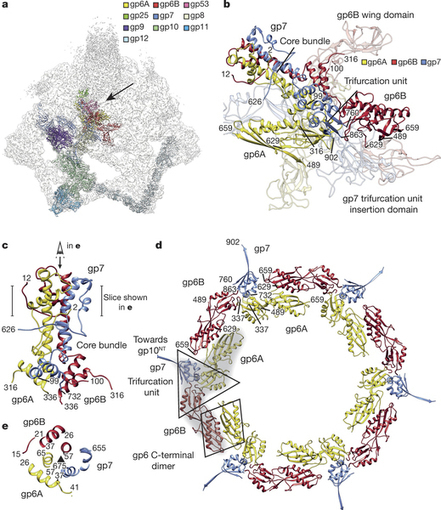 Structure of the T4 baseplate and its function in triggering sheath contraction | Virology and Bioinformatics from Virology.ca | Scoop.it