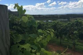 Vine removalists pull out Hunter vineyards | Viticulture | Scoop.it