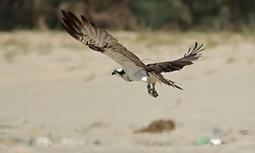 Missing Scottish osprey found 3,000 miles away in Senegal   Oceans and Wildlife   Scoop.it