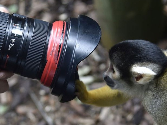 Monkey-Wikipedia selfie: US Copyright Office advises animals cannot own pictures | The Independent | À la une | Scoop.it
