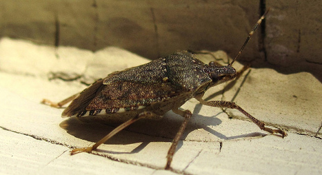 More researchers join effort to control stink bugs organically | Research from the NC Agricultural Research Service | Scoop.it