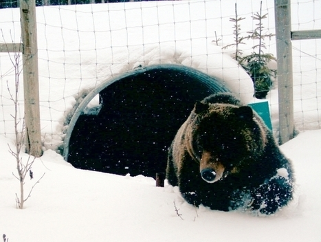 Study finds bears embrace wildlife crossings in Banff | Wildlife | Scoop.it