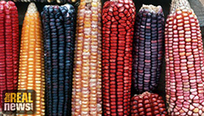 New GMO Crops Temporarily Blocked in Mexico   Current issues in geography   Scoop.it