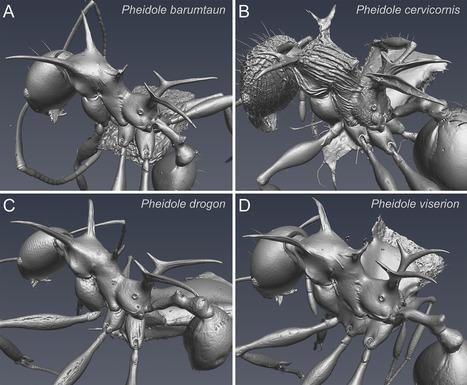 De nouvelles espèces de fourmis hérissées d'épines nommées d'après les dragons de Game of Thrones | EntomoNews | Scoop.it