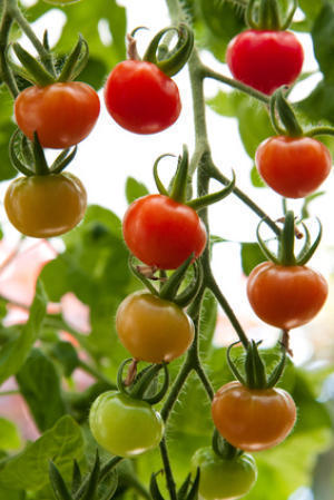 Organic tomatoes vs. conventional tomatoes: Is there a nutritional difference? | The Barley Mow | Scoop.it