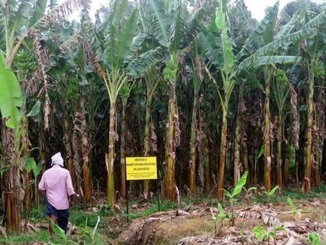 Farmers happy with success of cassava bio-pesticide - The Hindu | Biocontrol (english) | Scoop.it