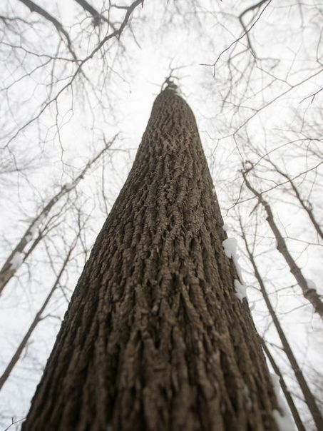 Search on for survivor ash trees in Ohio, Michigan - Detroit Free Press | Trees and Woodlands | Scoop.it