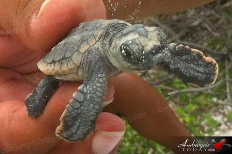 Marine Turtle Conservation in San Pedro, Belize | Belize in Social Media | Scoop.it