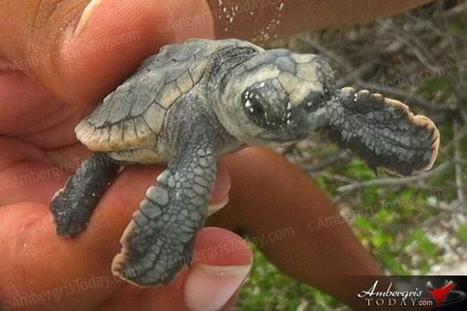 Marine Turtle Conservation in San Pedro, Belize | Belize in Social Media | Scoop.it
